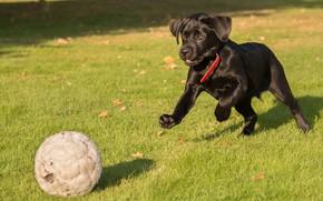 Картинка трава, игра, мяч, щенок, Лабрадор-ретривер