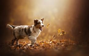Картинка осень, листья, щенок, собачка, Akela