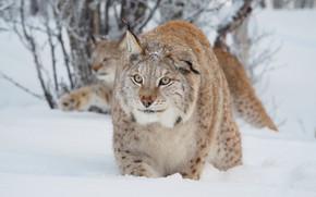 Картинка зима, лес, кошка, взгляд, морда, снег, фон, рысь, дикая природа