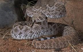 Картинка змея, пресмыкающееся, техасский гремучник