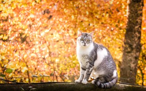 Картинка осень, кошка, бревно, боке