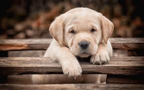 Картинка взгляд, доски, лапки, собака, малыш, щенок, мордашка, Лабрадор-ретривер