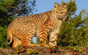 Картинка хищник, рысь, дикая кошка