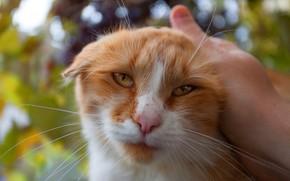 Картинка кошка, глаза, кот, взгляд, морда, листья, природа, фон, рука, портрет, вислоухий, рыжий, ласка, хозяин, боке, ...