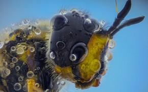 Картинка капли, пчела, насекомое