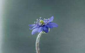 Картинка макро, природа, растение, лепестки, печёночница благородная
