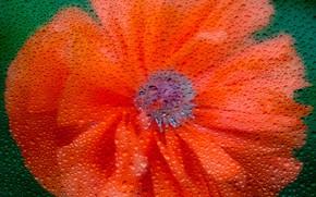 Картинка цветок, стекло, капли, мак