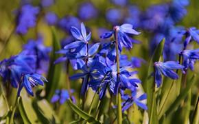 Картинка макро, цветы, природа, настроение, красота, растения, сад, подснежники, цветение, пролески, флора, эстония, сцилла