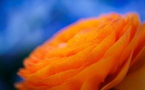 Картинка цветок, природа, лепестки, ранункулюс