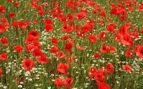 Картинка поле, лето, цветы, маки, ромашки, красные