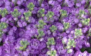 Картинка фиолетовый, цветы, бутоны, Маттиола