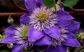 Картинка цветы, лепестки, цветение, Клематис