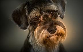 Картинка взгляд, портрет, собака, мордашка, цвергшнауцер