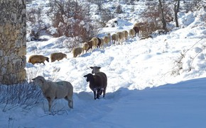 Картинка зима, снег, Франция, овцы, Ванс