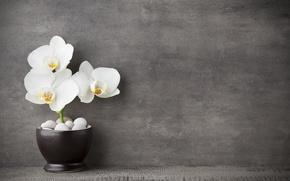 Картинка white, орхидея, flowers, orchid