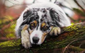 Обои грусть, взгляд, собака