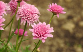 Картинка цветы, природа, розовый
