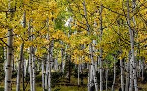 Картинка осень, деревья, Колорадо, США, роща, осина