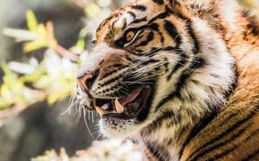 Картинка морда, тигр, портрет, клыки, оскал, профиль, дикая кошка