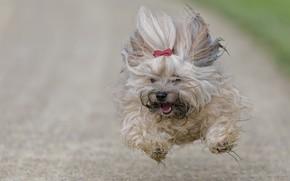 Картинка собака, бег, полёт, Гаванский бишон