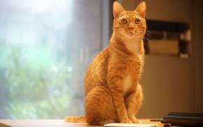 Обои кот, гаджет, телефон, офис, помещение, электроника, мобильник, мобильный, белый, офисный охранник, окно, стол, поза, кошка, ...