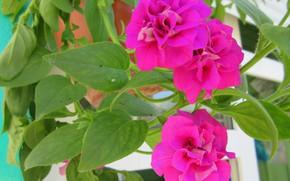 Картинка цветы, петунии, весна 2018, Mamala ©