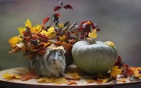 Картинка осень, животные, листья, октябрь, тыква, морская свинка, композиция, осенние игры