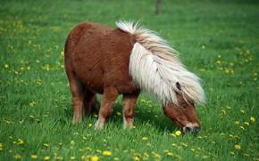 Картинка трава, цветы, природа, фон, конь, лошадь, весна, пастбище, луг, грива, пони, белая, одуванчики, лужайка, коричневая, …