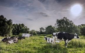 Картинка поле, природа, коровы