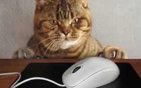 Обои кот, взгляд, морда, стол, ситуация, лапы, мышка, когти, провод, коврик, компьютерная