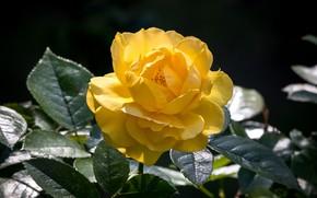 Обои цветение, цветок, желтый, Роза