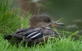 Картинка утка, трава, клюв, хохлатый крохаль, птица