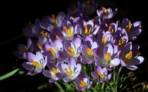 Картинка весна, Шафран, Крокусы, насекомые