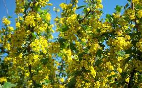 Картинка цветы, жёлтые, чёрная смородина, мелкие, цветущий кустарник, mamala ©