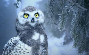 Картинка зима, лес, глаза, снег, сова, птица