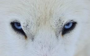 Обои глаза, шерсть, волк, собака