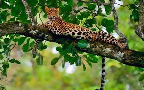 Обои отдых, листва, ветка, джунгли, леопард, боке