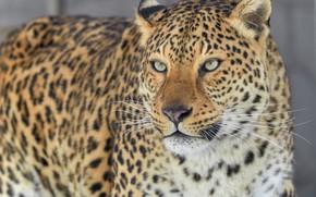Картинка взгляд, Леопард, портрет, хищник, дикая кошка