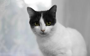 Картинка кошка, взгляд, котенок, котэ, кошечка, бело-серая, беспородная кошка, бело-серая кошка, комнатая