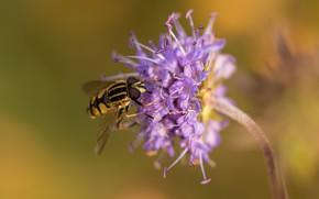 Обои цветок, насекомое, боке, журчалка