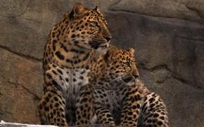 Картинка хищники, семья, пара, дикие кошки, зоопарк, леопарды, амурские, мать и детёныш