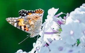 Картинка цветы, бабочка, насекомое, мотылек