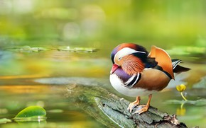Обои птица, вода, Мандаринка, утка