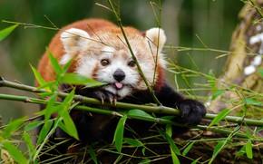 Картинка ветка, красная панда, мордашка, листья бамбука