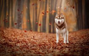 Картинка осень, листья, листва, собака, Хаски