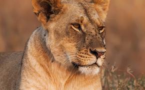 Картинка трава, морда, крупный план, фон, хищник, львица, боке