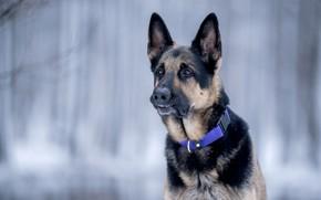 Картинка морда, фон, портрет, собака, боке, Немецкая овчарка