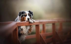 Обои собака, Австралийская овчарка, мост, Аусси, боке