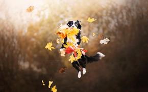 Картинка осень, листья, собака