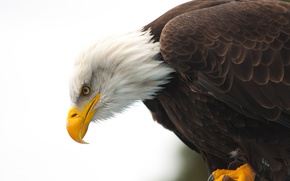 Картинка eye, wildlife, bald eagle, beak, hunting